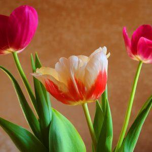 Три тюльпана на 8 Марта