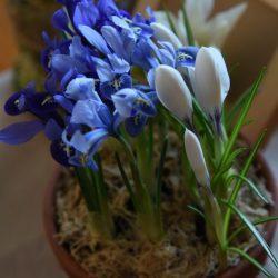 8 Марта - букетик нежных цветов в горшочке